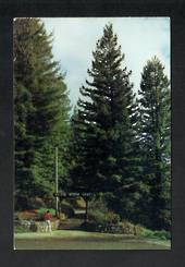 Modern Coloured Postcard by Gladys Goodall of the American Redwood Trees at the entrance to the Waitomo Caves. - 444174 - Postca
