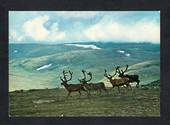 NORWAY Modern Coloured Postcard of Reindeer. - 444811 - Postcard