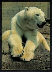 Modern Coloured Postcard of Polar Bear at London Zoo. - 444853 - Postcard