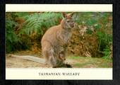 Modern Coloured Postcard of Tasmanian Wallaby. - 444963 - Postcard