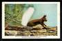 USA Coloured Postcard by Union Pacific Railroad of White-Tailed Squirrel. - 40695 - Postcard