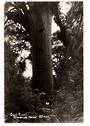 Real Photograph by Woolley of The Giant Kauri Waipoua Forest. - 44761 - Postcard