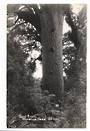 Real Photograph by Woolley of Giant Kauri Waipoua Forest. - 44777 -