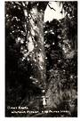 Real Photograph by T G Palmer & Son of Giant Kauri Waipoua Forest. - 44778 - Postcard
