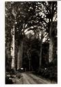 Real Photograph by T G Palmer & Son of Waipoua Forest. - 44781 - Postcard