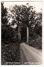 Real Photograph by T G Palmer & Son of Waipoua Forest. - 44783 -