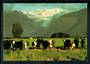 Modern Coloured Postcard by Robt Wells of Hereford Cattle at Fox Glacier. - 448751 - Postcard