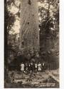 Real Photograph by G E Woolley of Giant Kauri Waipoua Forest. - 44923 -