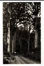 Real Photograph by G E Woolley of the Waipoua Kauri Forest. - 44967 -